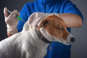 Можно ли колоть антибиотик при вакцинации от бешенства?